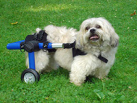 Dog in Mini Wheelchair