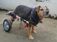 Small Dog in Wheelchair